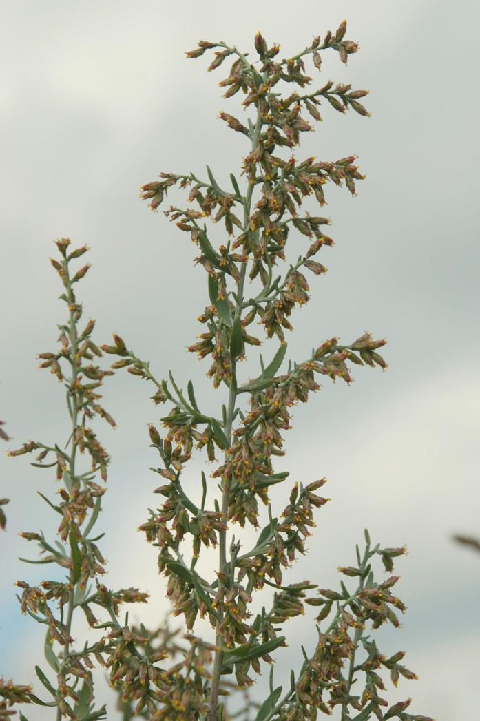 Artemisia coerulescens 5