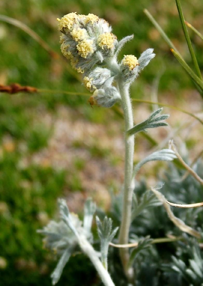 Artemisia eriantha  2