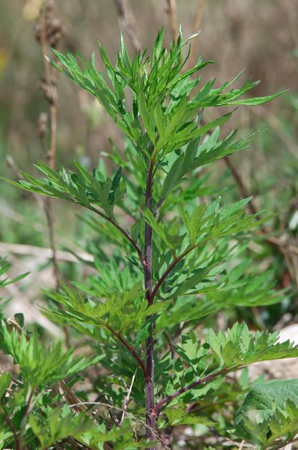 Artemisia vulgaris 11