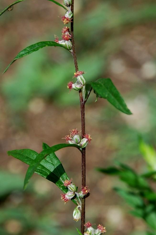 Artemisia vulgaris 18