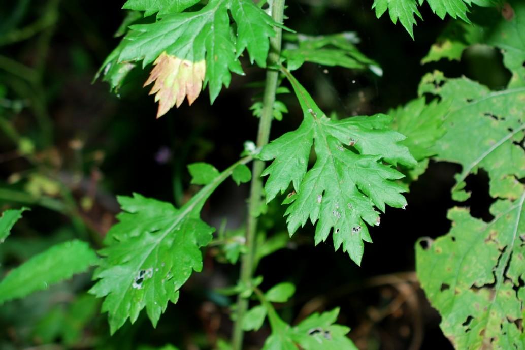 Artemisia vulgaris 23