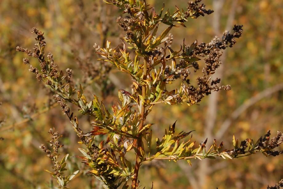 Artemisia vulgaris 5