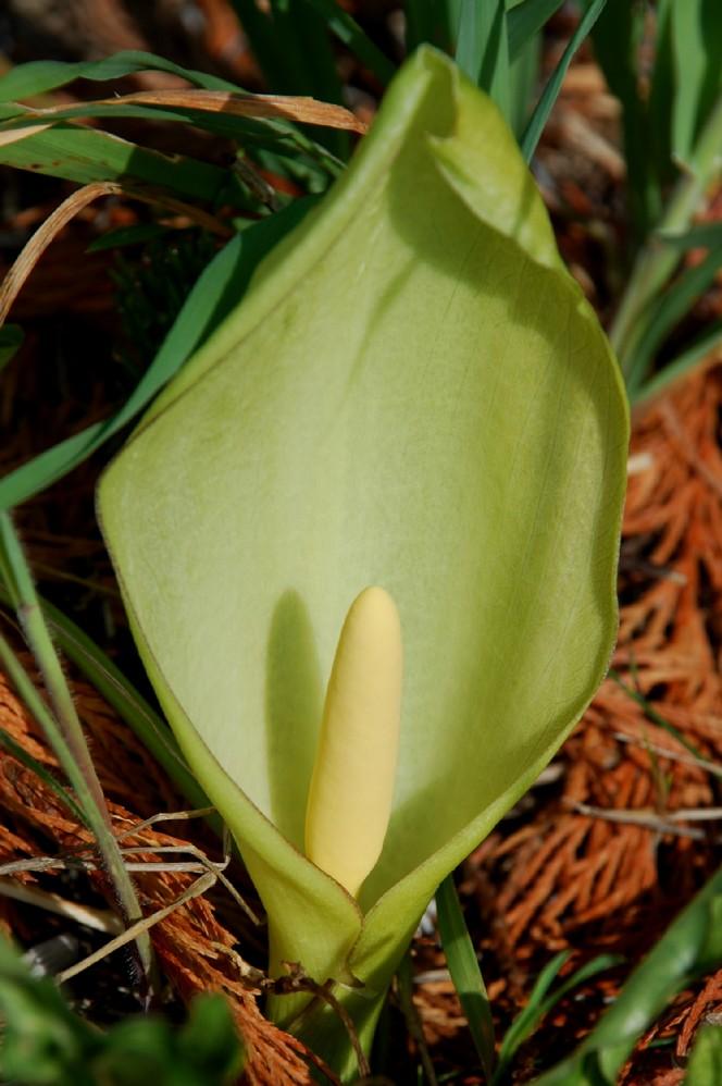 Arum italicum subsp. italicum 8