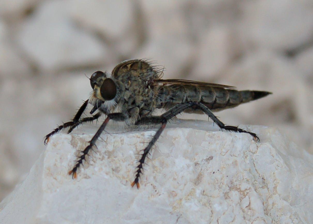 Asilidae (3)