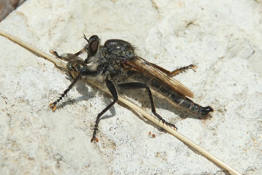Asilidae (5)