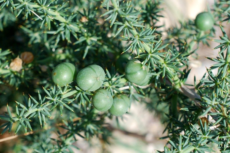 Asparagus acutifolius 18