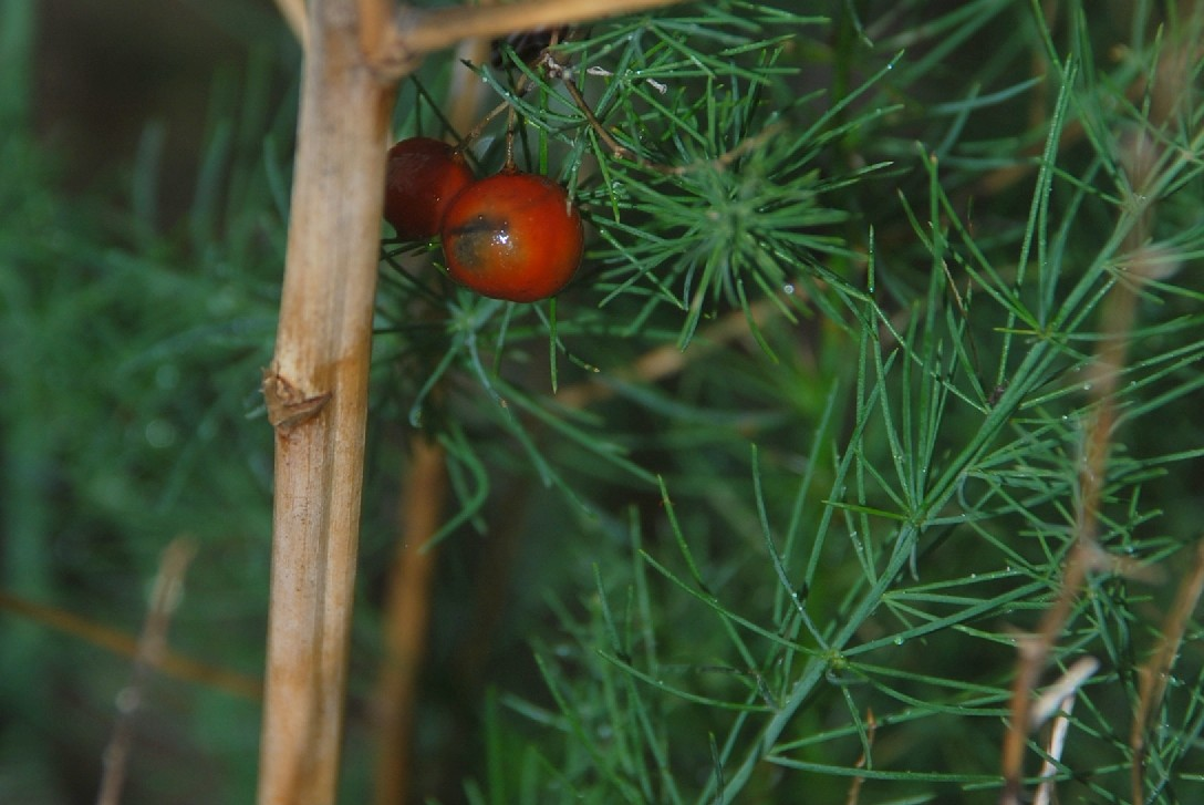 Asparagus officinalis 13