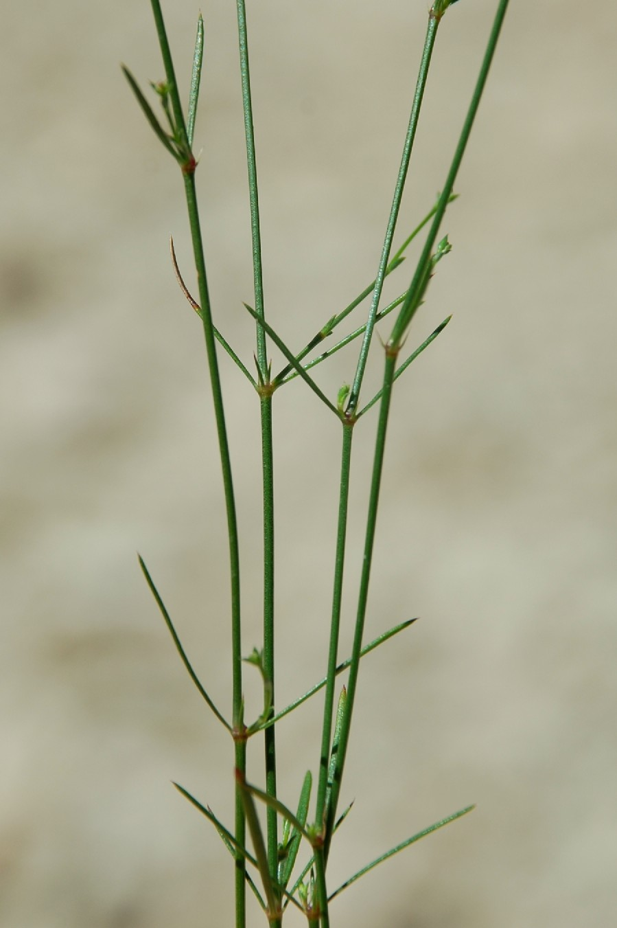 Asperula cynanchica 17