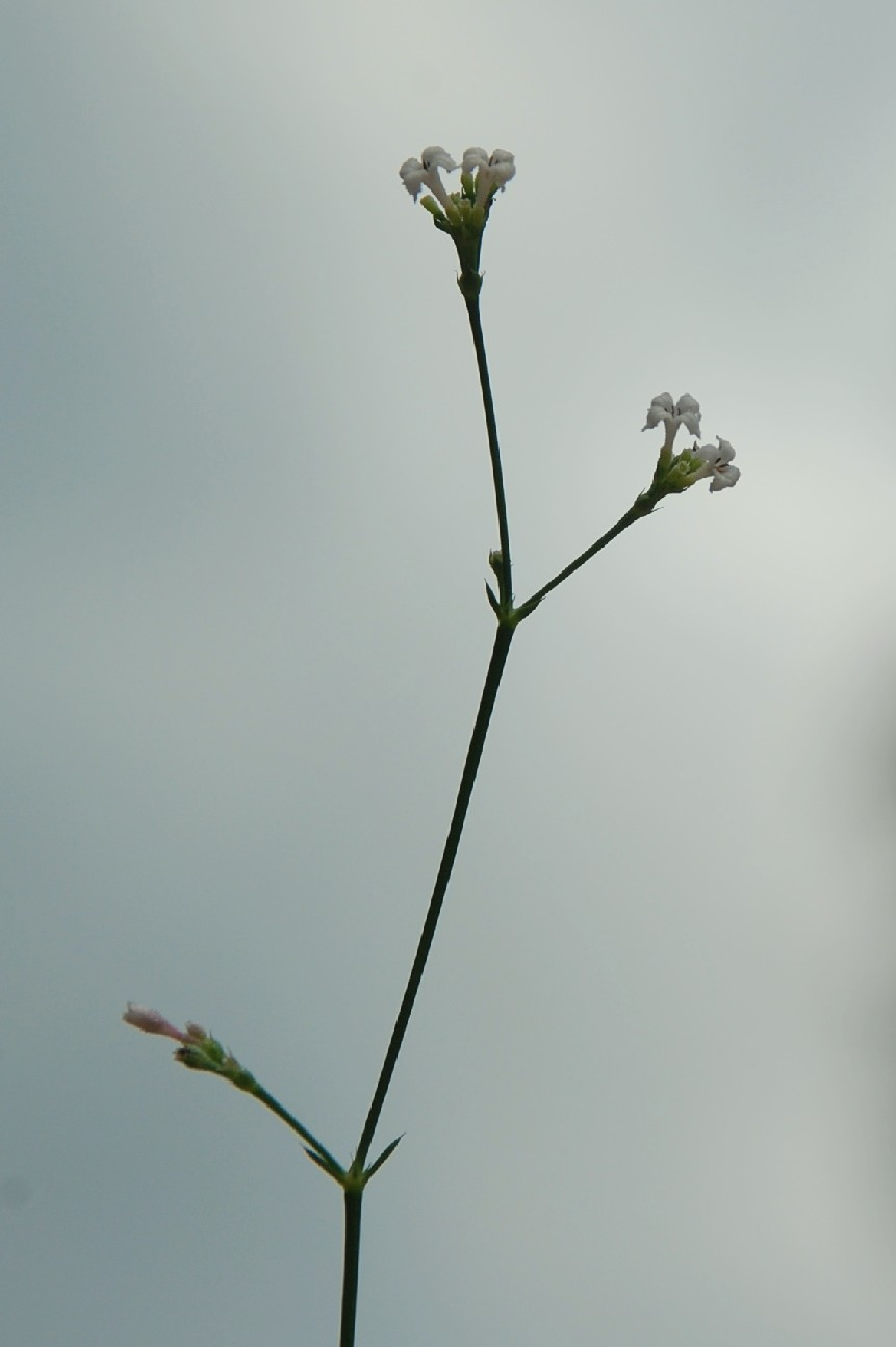 Asperula cynanchica 8