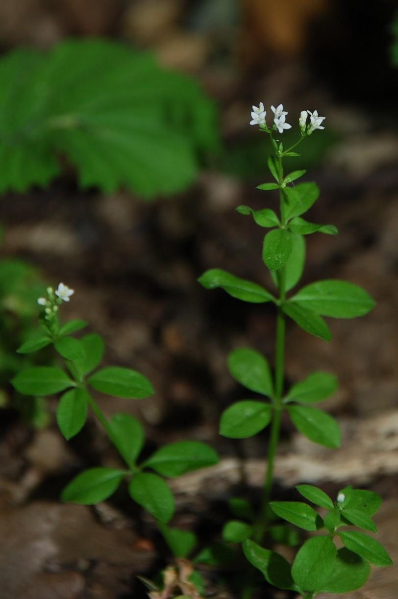 Asperula laevigata 2