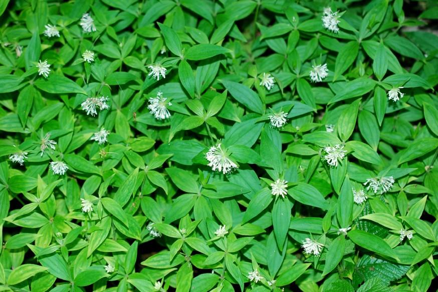 Asperula taurina subsp. taurina 5