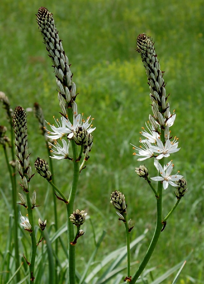 Asphodelus macrocarpus subsp. macrocarpus