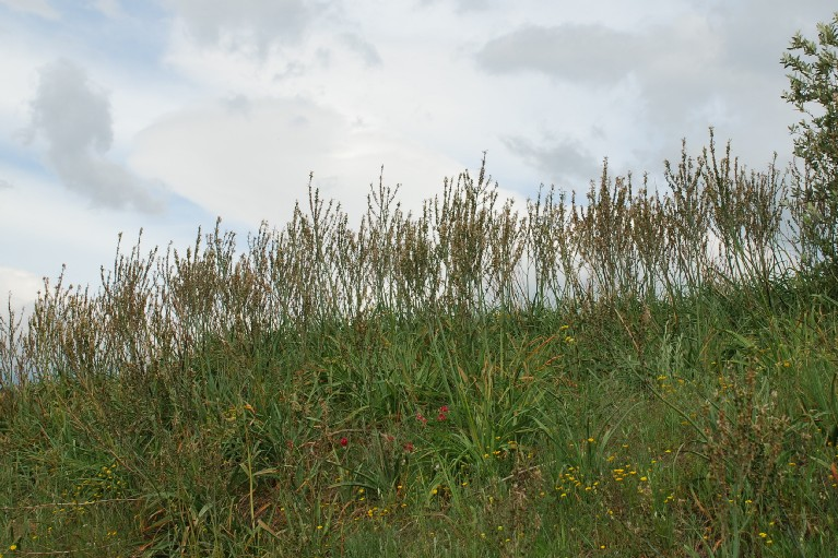 Asphodelus ramosus subsp. ramosus