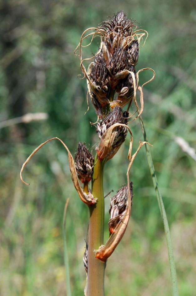 Asphodelus ramosus subsp. ramosus 10