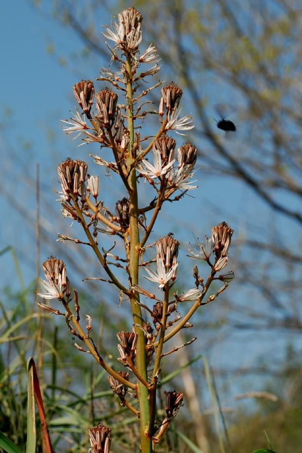 Asphodelus ramosus subsp. ramosus 12
