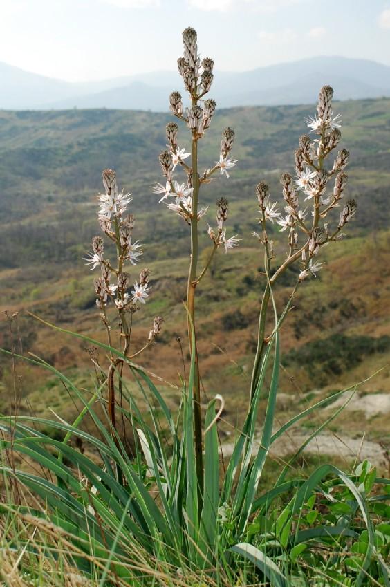 Asphodelus ramosus subsp. ramosus 13