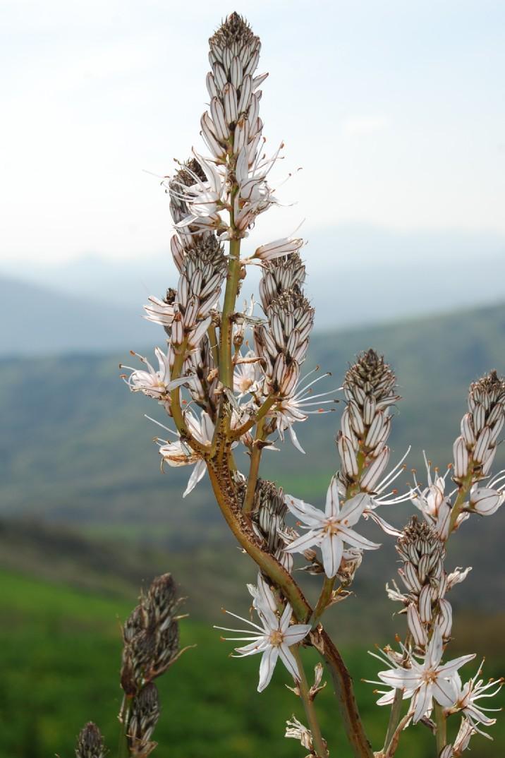 Asphodelus ramosus subsp. ramosus 14