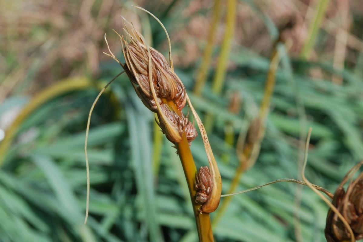 Asphodelus ramosus subsp. ramosus 20