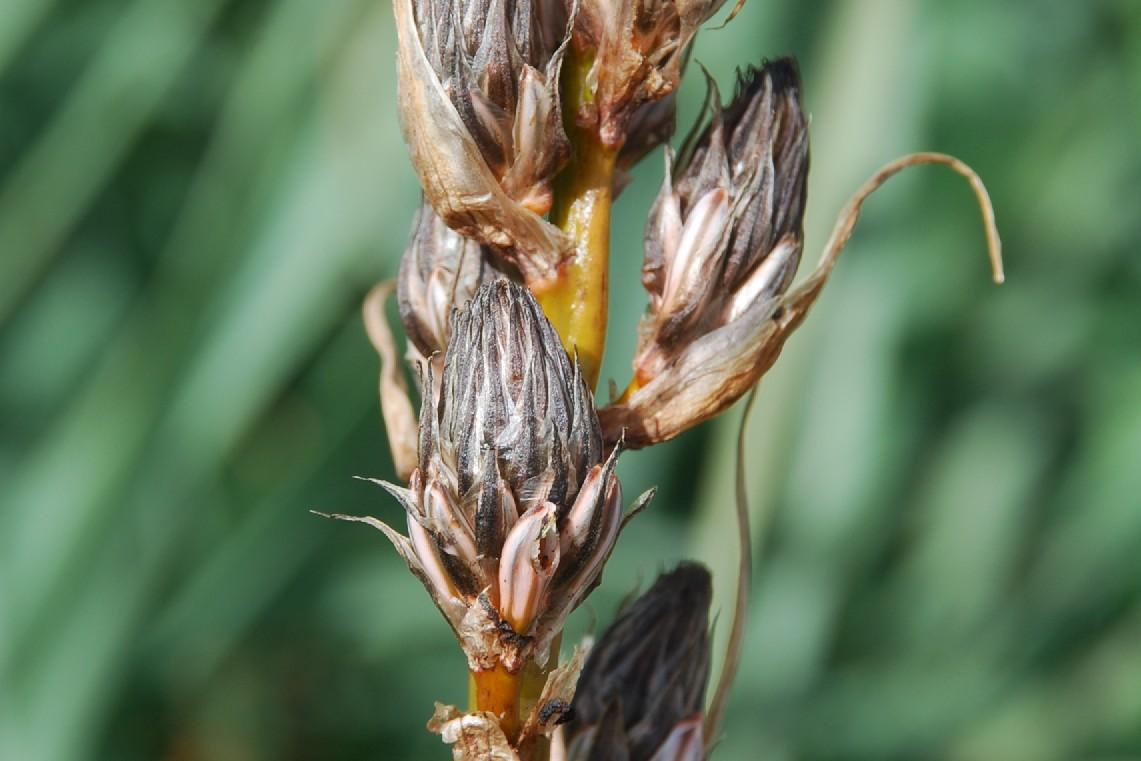 Asphodelus ramosus subsp. ramosus 21