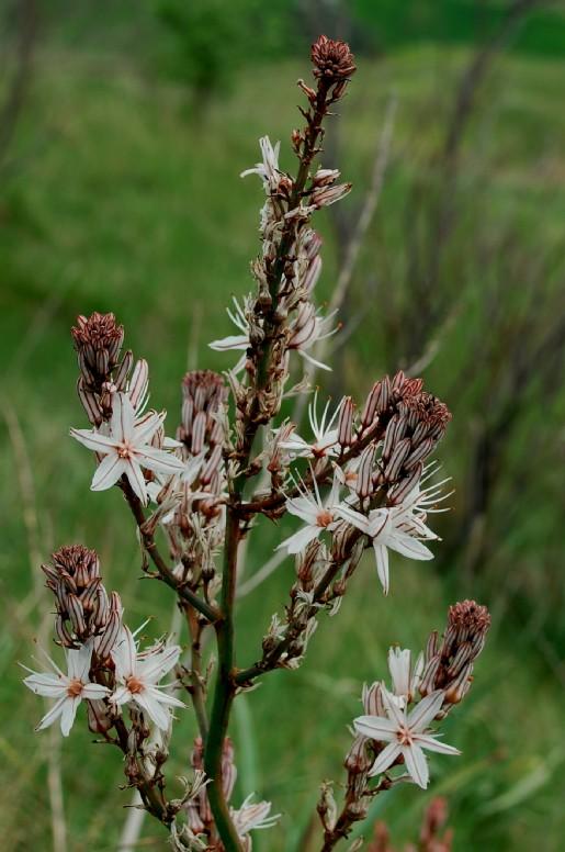 Asphodelus ramosus subsp. ramosus 3
