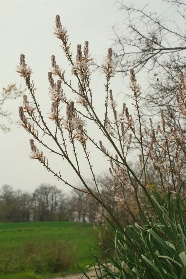 Asphodelus ramosus subsp. ramosus 30