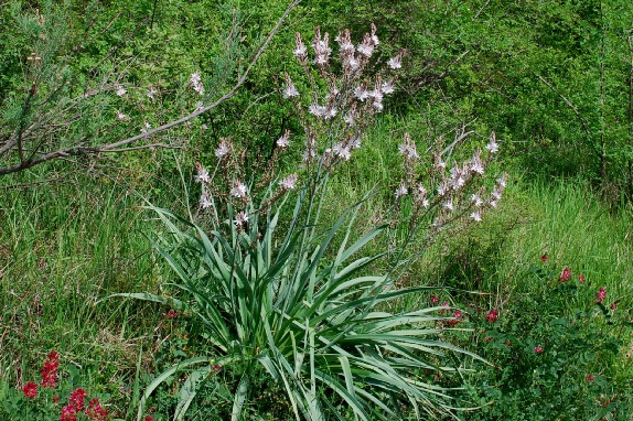Asphodelus ramosus subsp. ramosus 4