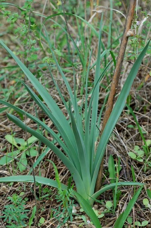 Asphodelus ramosus subsp. ramosus 8