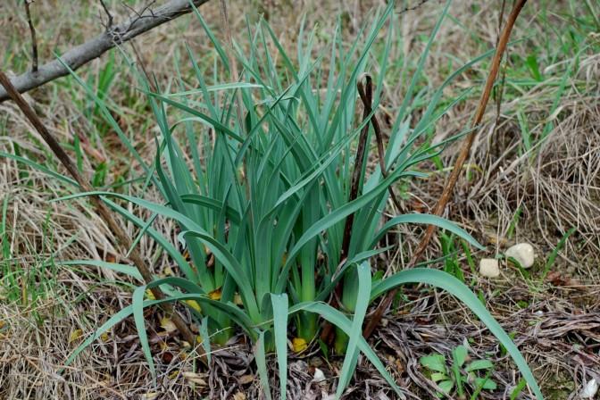 Asphodelus ramosus subsp. ramosus 9