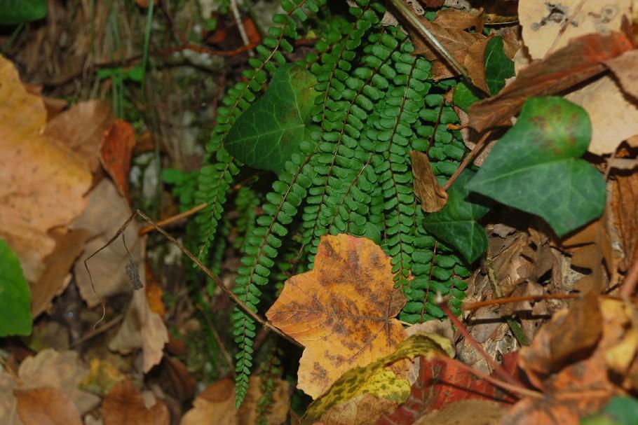 Asplenium trichomanes subsp. quadrivalens 11