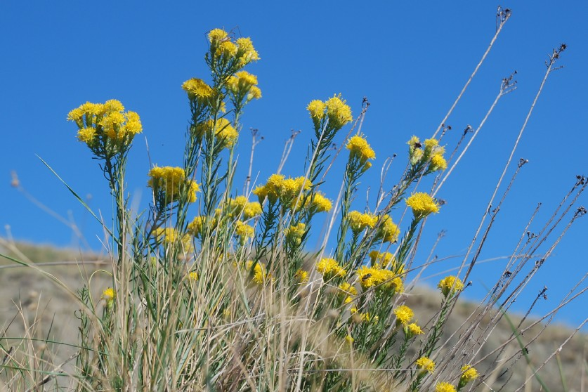 Galatella linosyris subsp. linosyris