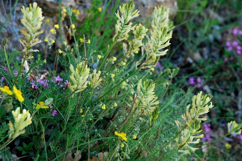 Astragalus aquilanus