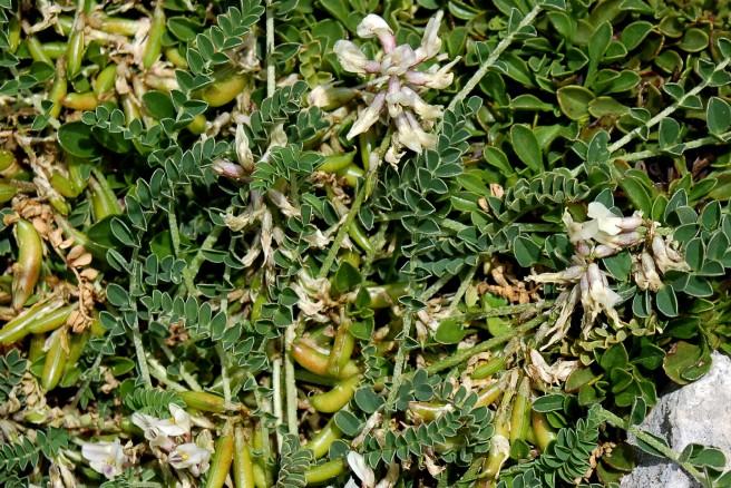 Astragalus depressus subsp. depressus