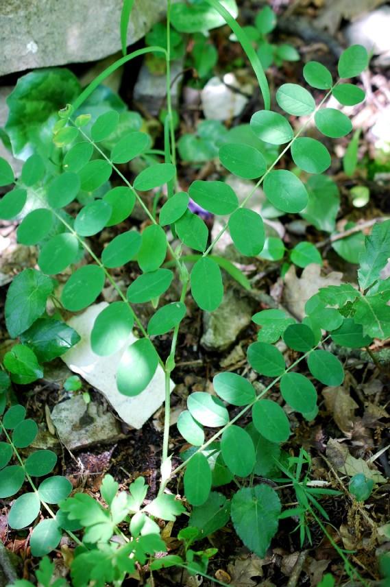 Astragalus glycyphyllos 13