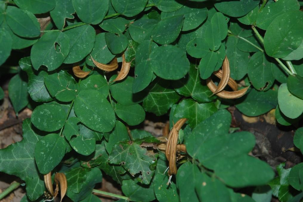 Astragalus glycyphyllos 15