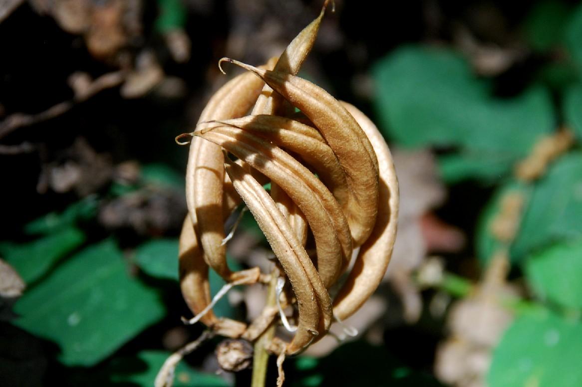 Astragalus glycyphyllos 16