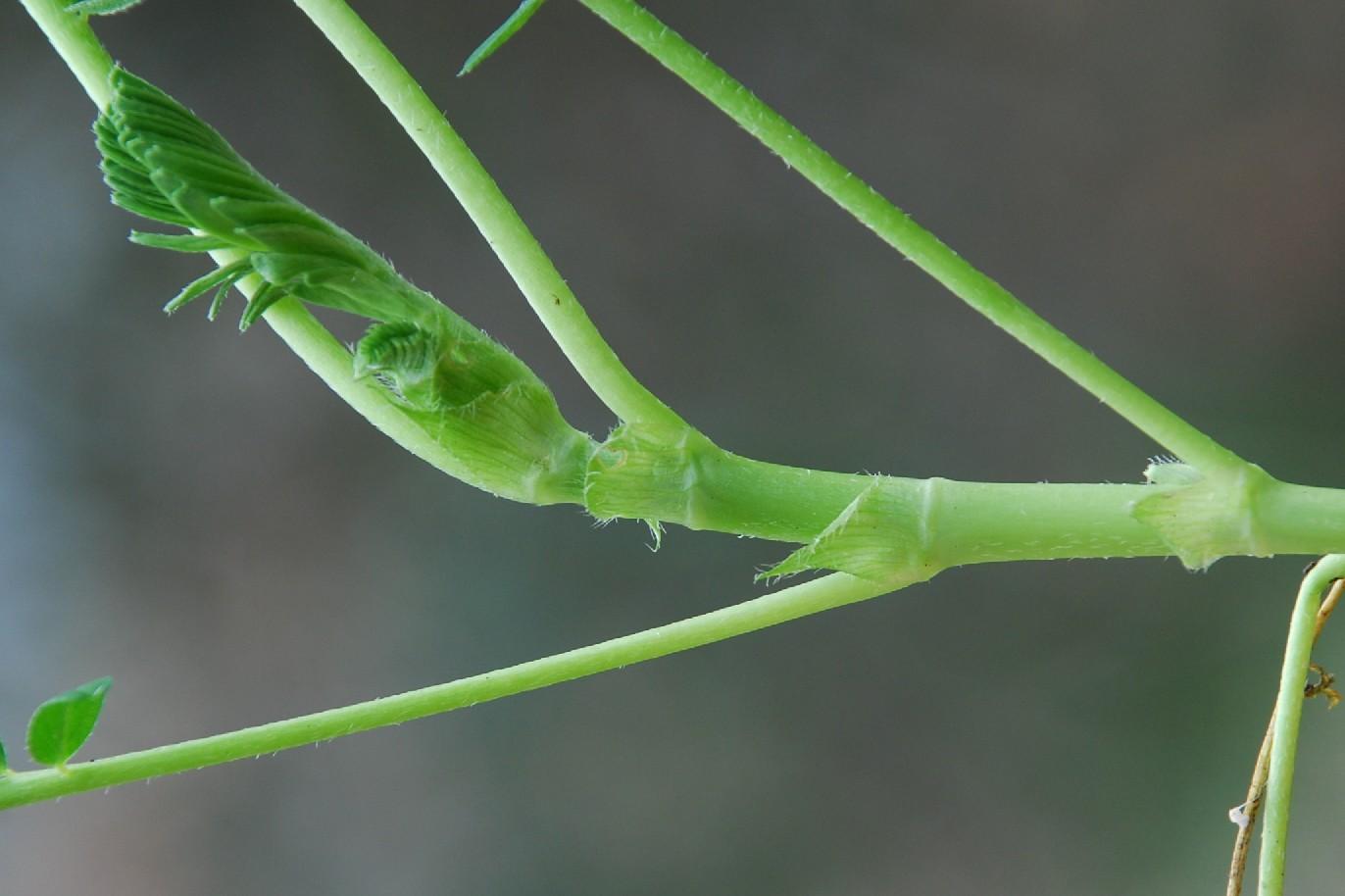 Astragalus hamosus 11