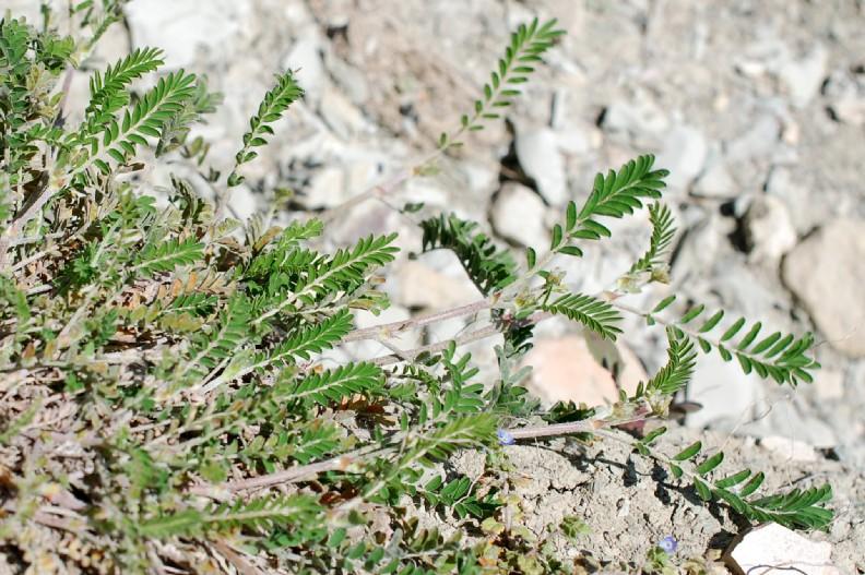 Astragalus hamosus 18