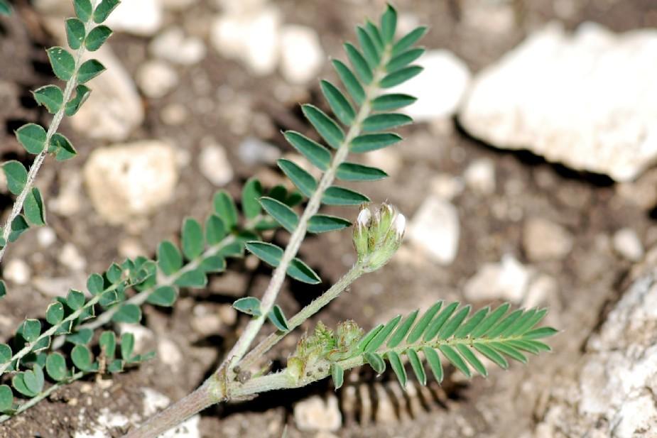 Astragalus hamosus 3