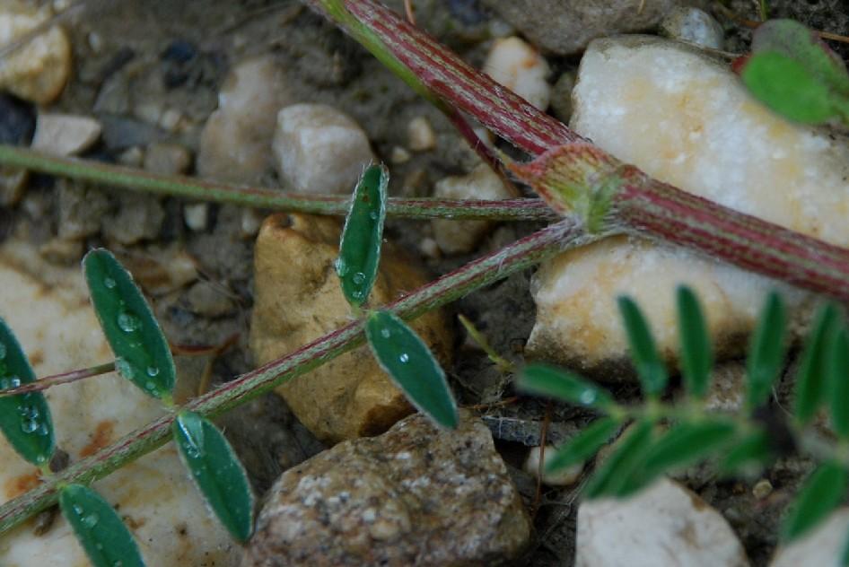Astragalus hamosus 6