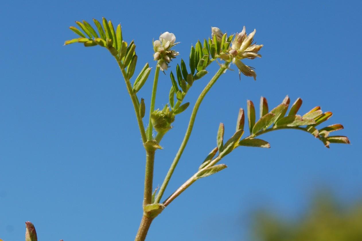 Astragalus hamosus 7