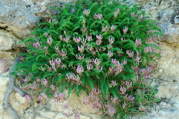 Astragalus monspessulanus subsp. monspessulanus 10