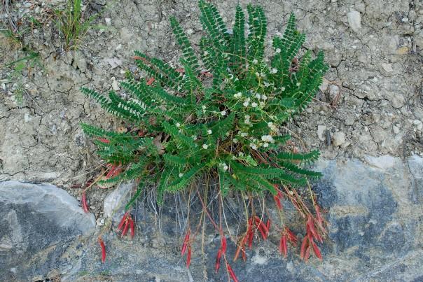 Astragalus monspessulanus subsp. monspessulanus 4