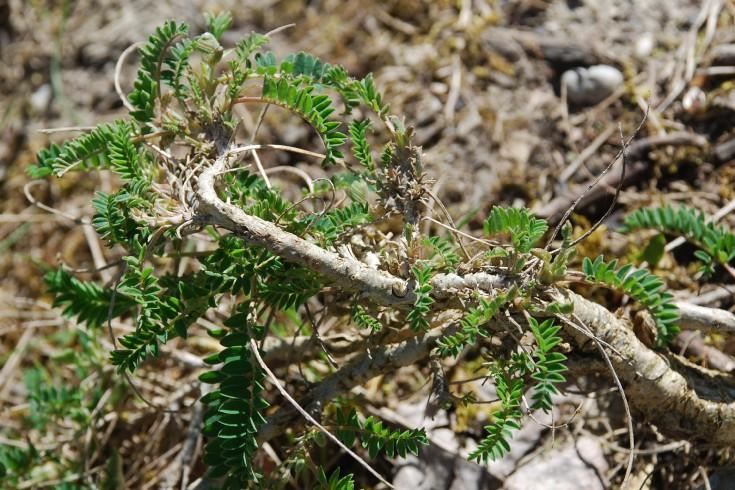 Astragalus monspessulanus subsp. monspessulanus 7