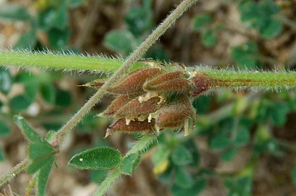 Astragalus sesameus 11