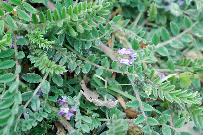 Astragalus sesameus 15