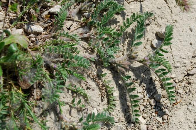 Astragalus sesameus 8