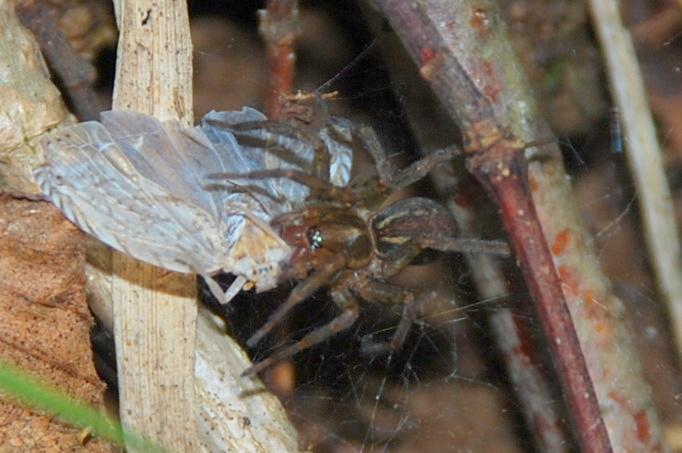 Aterigena ligurica - Agelenidae