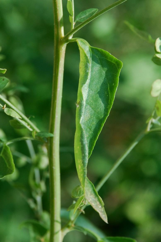 Atriplex hortensis 10