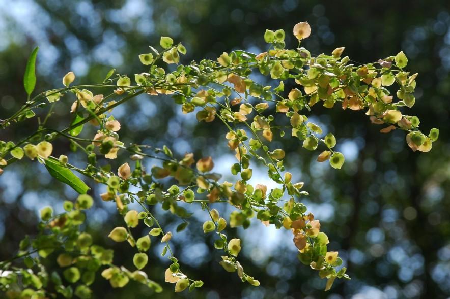Atriplex hortensis