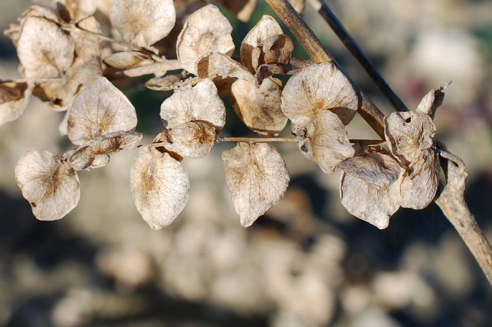 Atriplex hortensis 15